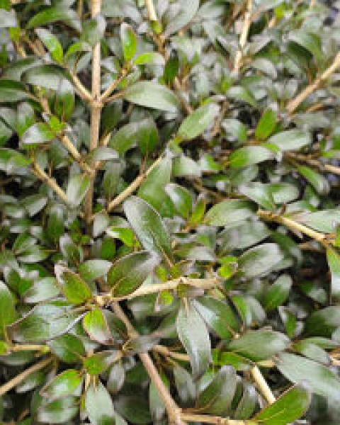 Coprosma 'Black Cloud'  image